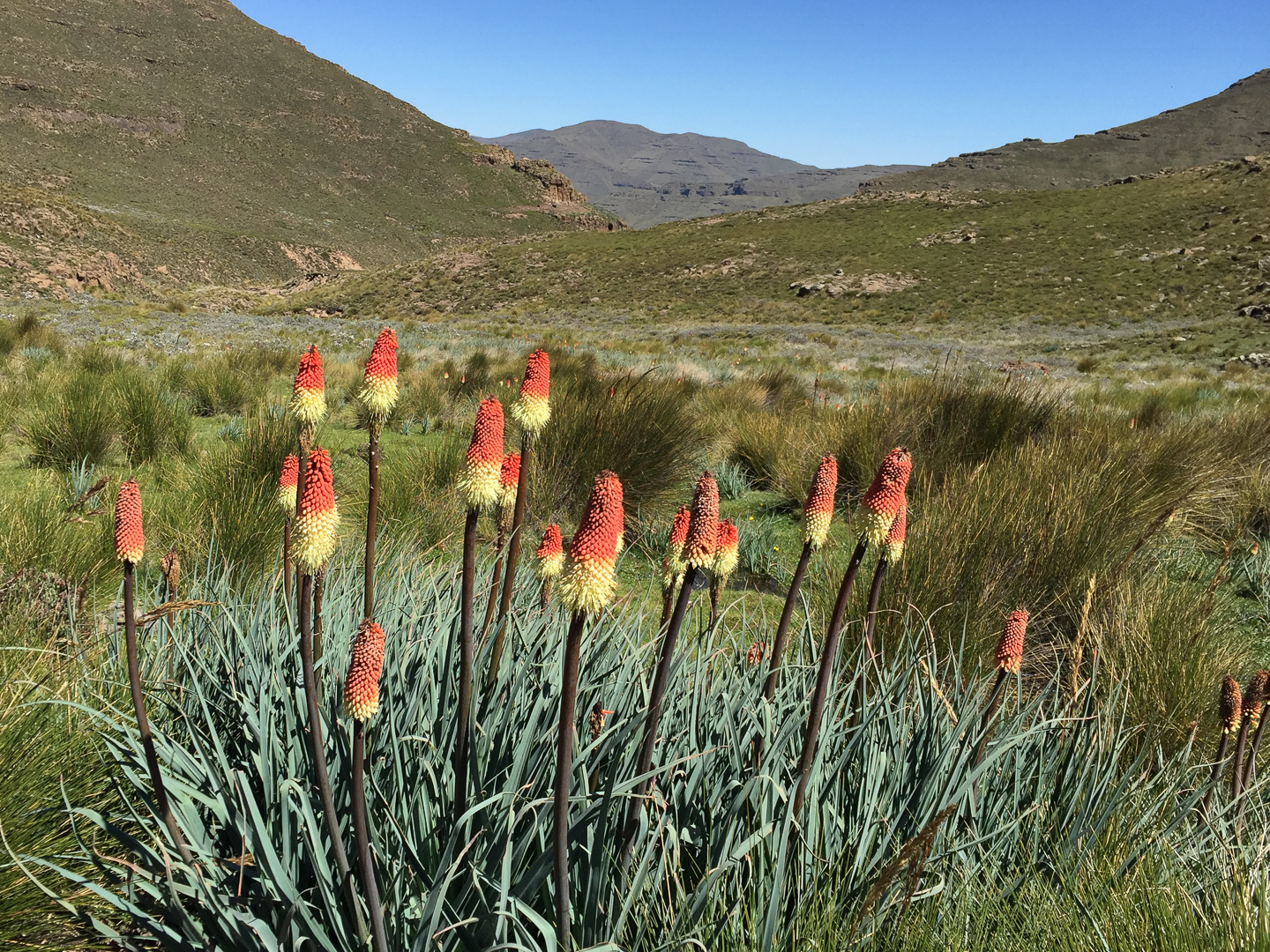 Red Hot Pokers were a regular site in boggy areas in the valley
