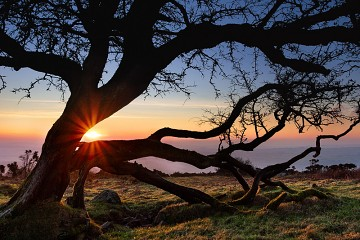 sunset through a Dartmoor Hawthorn Tree