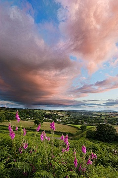 Foxgloves shot at sunset with rain int eh distance