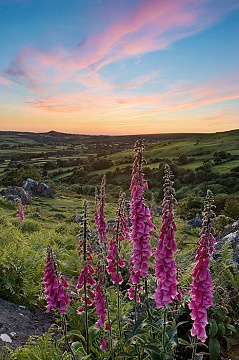 Photo of foxgloves on Dartmoor