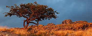 a hawthorn tree on dartmoor is lit by the light of sunset