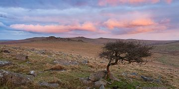 a windswept Hawthorn tree on Dartmoor